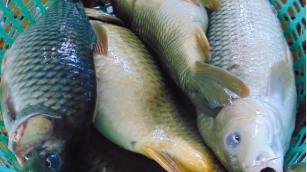 4 nhóm người tuyệt đối không được ăn cá chép, nếu không muốn nguy hại tới sức khỏe