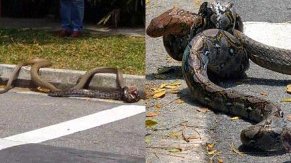Rợn người với clip rắn hổ mang bị trăn tóm sống, siết cổ giữa đường