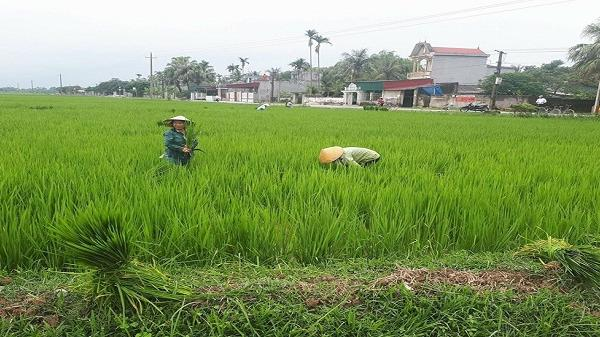 """Thanh hóa: Nông dân điêu đứng vì """"lúa ma"""" trắng đồng"""
