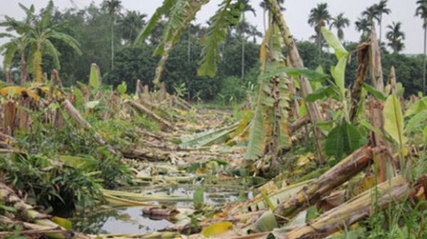 Đề nghị khởi tố vụ án côn đồ chặt hạ hàng nghìn cây chuối
