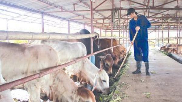 Những cử nhân Thái Bình từ chối lương khủng, bỏ phố về quê để... nuôi giun, chăn bò