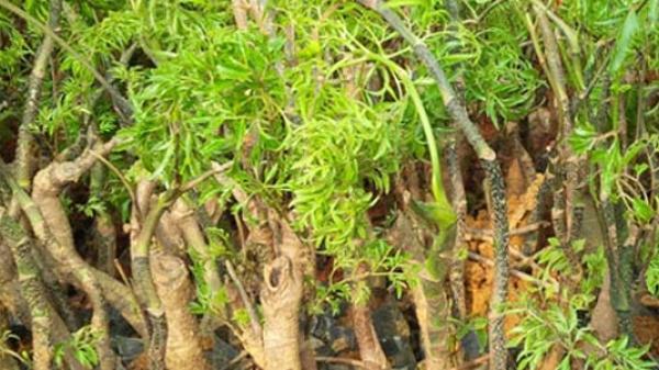 Tác dụng chữa bệnh tuyệt vời của cây đinh lăng và những lưu ý khi dùng