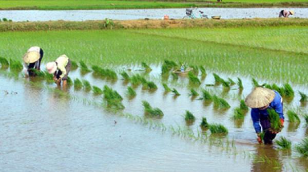 Hưng Hà (Thái Bình): Người dân tích cực gieo cấy lúa mùa