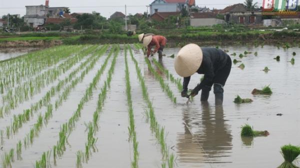 Mở ra hướng đi mới cho sản xuất lúa gạo Thái Bình