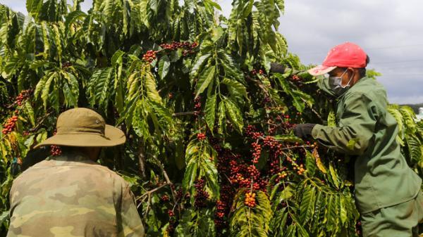 Tây Nguyên: Hái cà phê thuê kiếm hơn 10 triệu đồng mỗi tháng