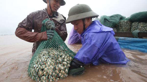 Tiền Hải (Thái Bình): Ngâm mình dưới nước thu hoạch ngao