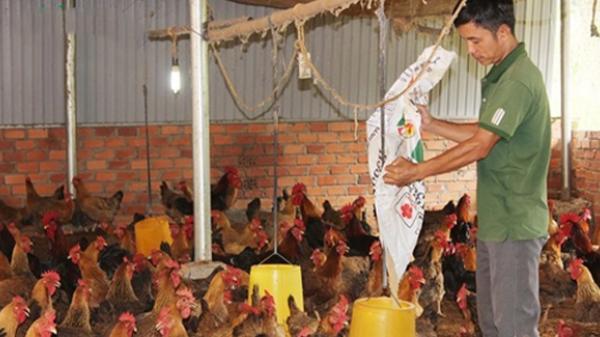 Đắk Nông: Chỉ ở nhà nuôi gà chọi lai mà lãi 50 triệu/tháng