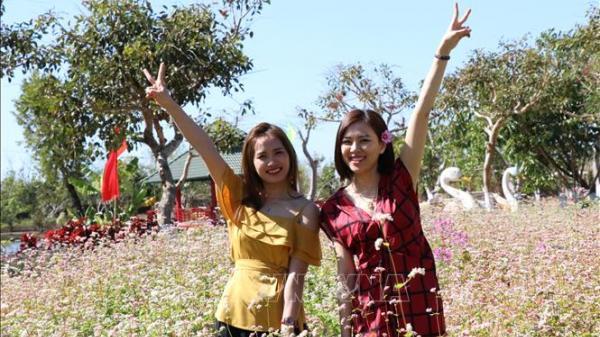 Gia Lai: Hoa tam giác mạch tô sắc xuân phố núi Tây Nguyên