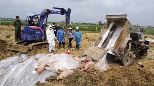 Cấp báo: Thêm 1 huyện tại Thái Bình xuất hiện dịch tả lợn châu Phi
