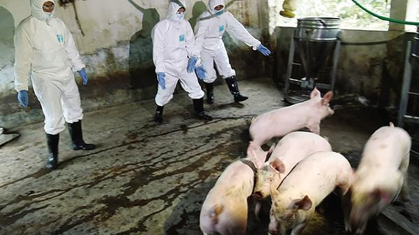 CẤP BÁO: 6 trên 8 huyện, thành phố của tỉnh Thái Bình dính dịch tả lợn châu Phi