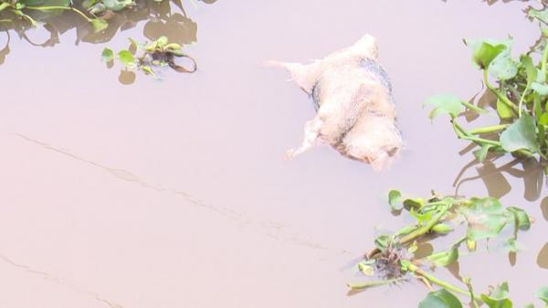 Hàng trăm x.ác lợn ch.ết l.ềnh b.ềnh trôi sông, ngành nông nghiệp kiến nghị Công an vào cuộc