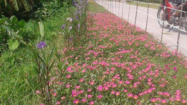 Đường làng ngập tràn hoa mười giờ ở Thái Bình