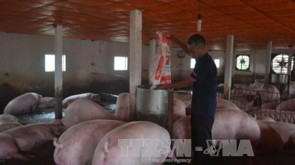 Giá lợn còn 15.000 đồng/kg: Dân khóc bỏ đói lợn, cả xã như có tang