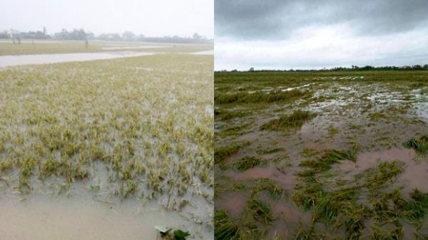 Thái Bình: 30.000 ha lúa mùa bị tàn phá do mưa lũ