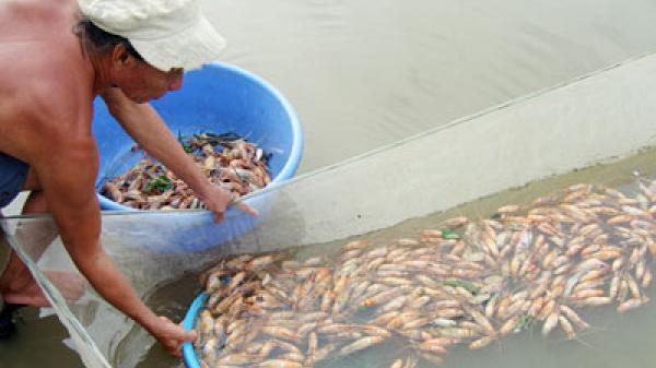 Thái Thụy: 3,1 triệu con tôm bị chết do nhiễm bệnh đốm trắng