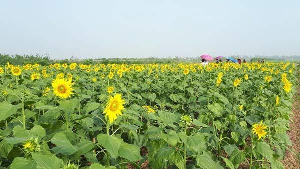 Chẳng phải check-in đâu xa, ngay Thái Bình cũng có cánh đồng hoa hướng dương đẹp đến mê hồn