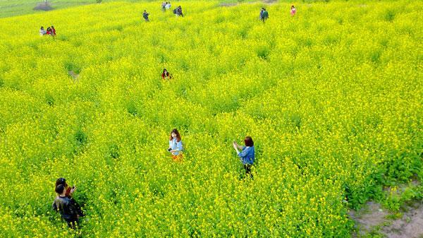 Không xa Thái Nguyên, có một nơi hoa cải rực rỡ trong tiết trời lạnh giá giữa đông