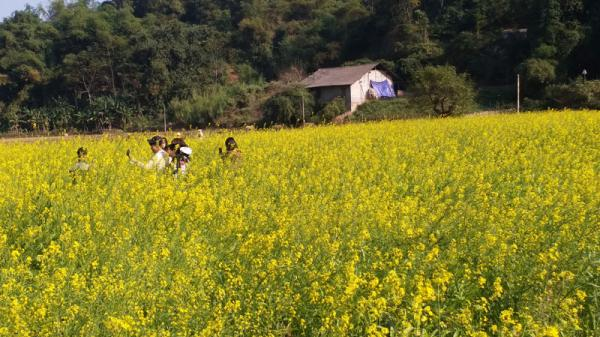 ĐI NGAY KẺO LỠ: Ngay cạnh Thái Nguyên, có một vườn vàng rực ngút mắt, đẹp như trong phim