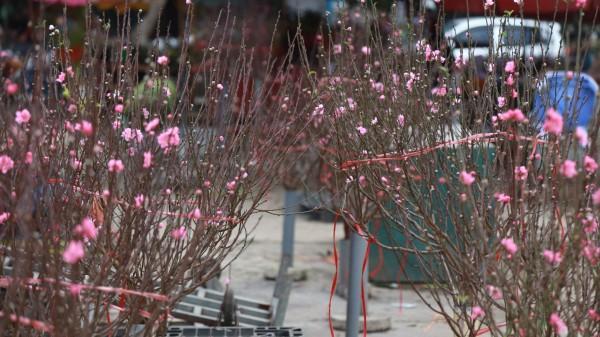 Còn 1 tháng nữa mới đến Tết nguyên đán nhưng hoa đào đã ngập tràn chợ, giá rẻ chỉ 50 nghìn/cành