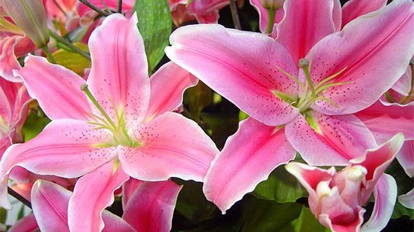 Các loài hoa cấm kỵ tuyệt đối không đặt trên bàn thờ trong những ngày Tết nguyên đán