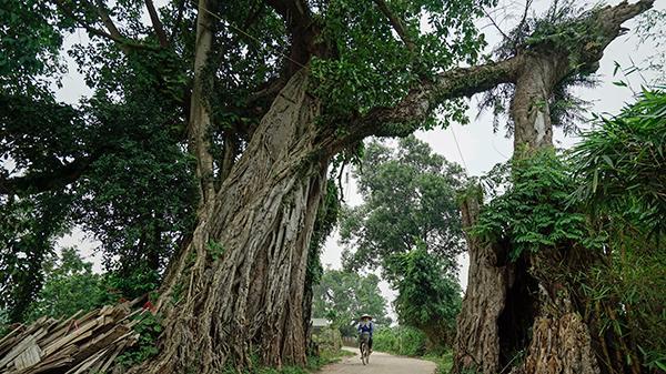 ĐỘC NHẤT VÔ NHỊ: Hai cây đa cổ thụ hàng trăm năm tuổi kết thành cổng làng khiến người Thái Nguyên xa quê đi đâu cũng nhớ về