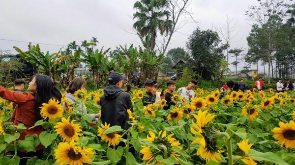 Đến ngay vườn hoa hướng dương này ở Thái Nguyên, để không cần là nắng mà vẫn được chói chang
