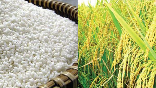 Ngọt ngào, dẻo thơm gạo nếp Thầu Dầu Phú Bình