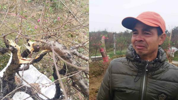 """TX.Từ Sơn (Bắc Ninh): Người dân """"ch.ết đứng"""" nhìn ruộng đào trị giá tiền tỷ bị kẻ gia.n phá hoại."""
