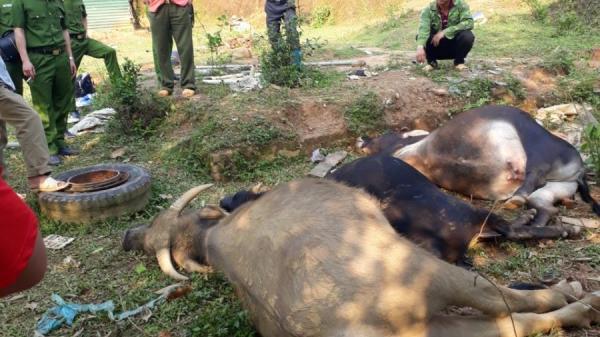 Bắc Kạn: Trâu bò chết hàng loạt sau khi uống nước trong mỏ khoáng sản