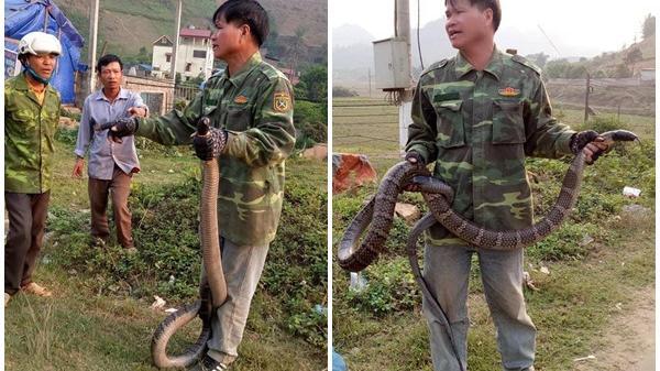 """Người đàn ông bắt được rắn hổ mang """"khủng"""" nặng 10kg, dài hơn 2m"""
