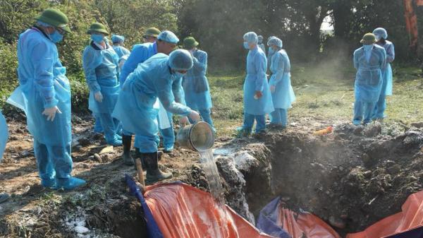 Thái Nguyên: Dịch tả lợn châu Phi bùng phát trở lại