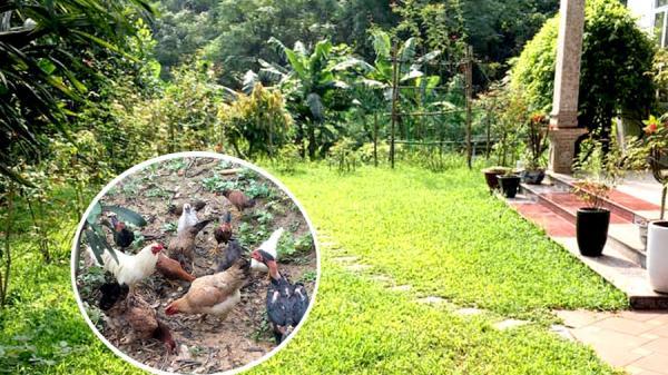Thái Nguyên: Sân vườn 100m2 mùa nào rau nấy, gà thả chạy bộ, cỏ mọc tự nhiên khiến người thành phố cũng mê