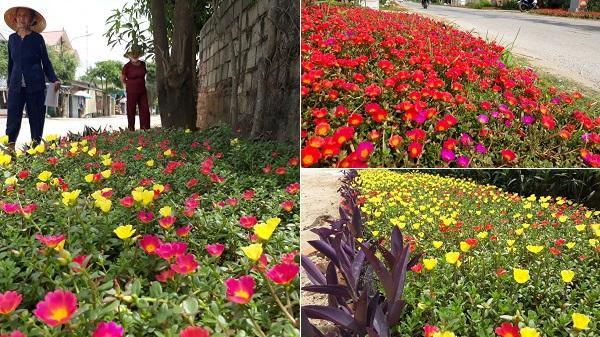 Thanh Hóa: Lung linh sắc hoa trên những con đường quê bình dị