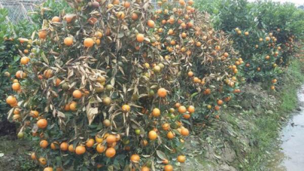 Thanh Hóa: Hơn 400 cây quất cảnh bị kẻ xấu phun thuốc diệt cỏ chết rụi