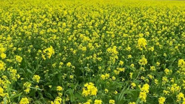 Cánh đồng hoa cải vàng rực rỡ gây sốt ở xứ Thanh