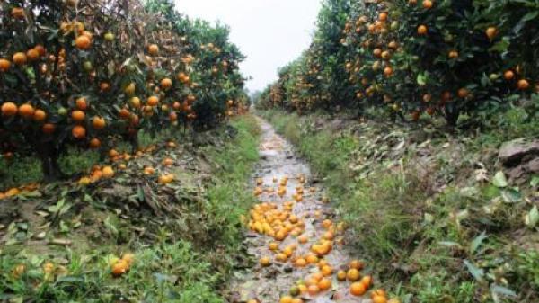 400 cây quất Tết bị phá ở Thanh Hóa: Phiếu kín tố giác kẻ gian
