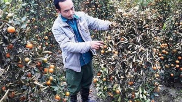 400 cây quất Tết bị phá ở Thanh Hóa: Tiết lộ đối tượng nghi vấn