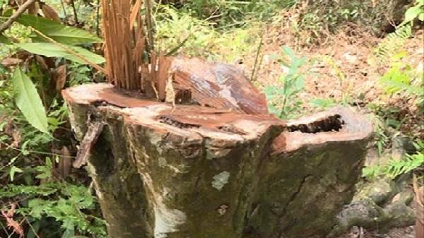 Hàng loạt cây táu muối bị chặt hạ bất thường