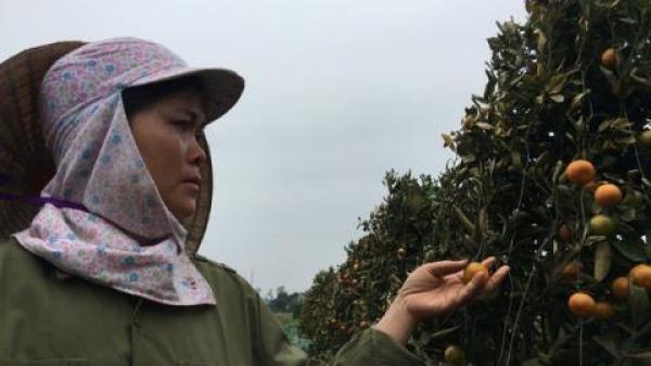 Thủ phạm phá 400 cây quất Tết ở Thanh Hóa: Vợ hai tiết lộ...