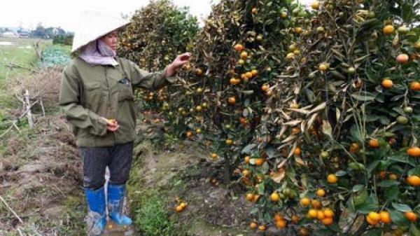 400 cây quất Tết bị phá ở Thanh Hóa: 'Chỉ đền cây chết hẳn'