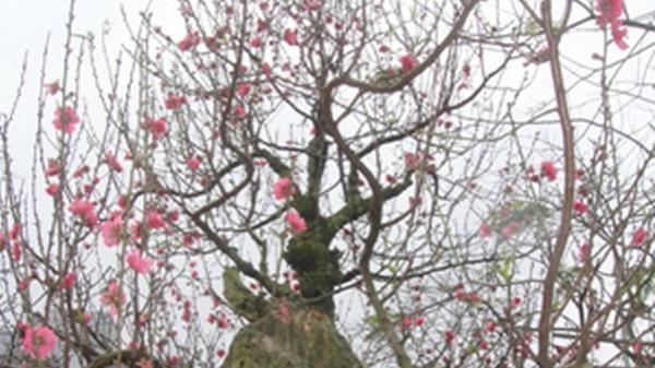 Đào đá Thanh Hóa hút khách dịp Tết Nguyên Đán