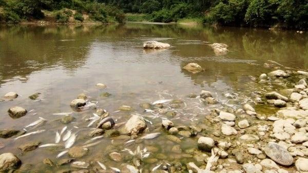 Cá lại chết hàng loạt trên sông Âm, nước chuyển màu đen