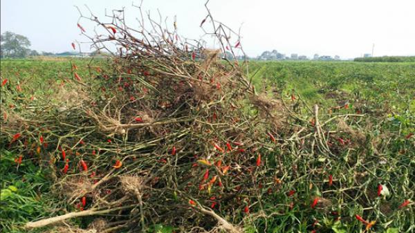Thanh Hóa: Điều tra vụ 4 sào ớt bị phun thuốc diệt cỏ chết cháy