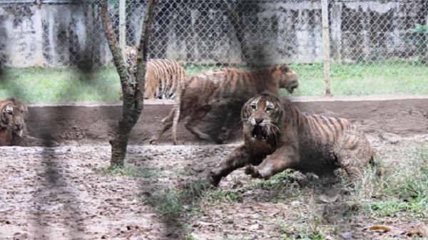 Cận cảnh đàn hổ dữ nuôi nhốt trái phép ở Thanh Hóa