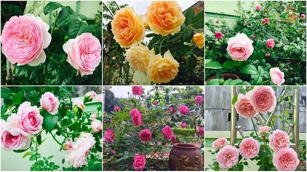 Vườn hồng đẹp quyến rũ ai ngắm cũng 'phải lòng' của nhà cô giáo ở Thanh Hóa