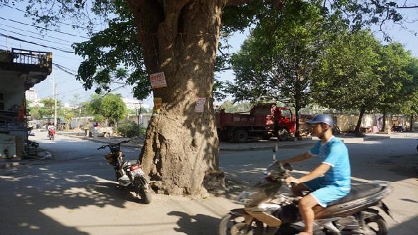 Cây vông 70 năm tuổi nằm giữa ngã tư đường