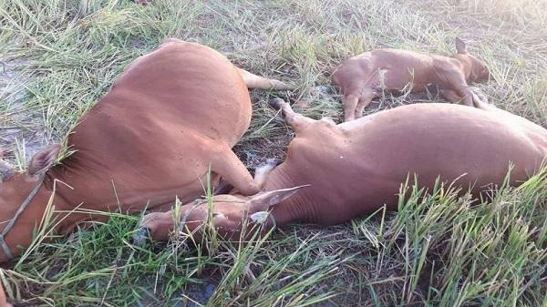 Hà Tĩnh: Đứt dây điện, 5 con bò bị giật chết giữa đồng