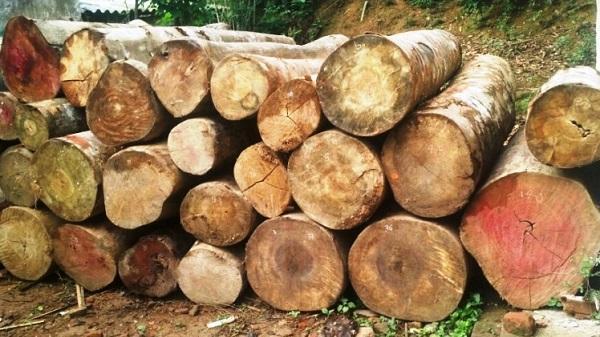 Thanh Hóa: Xử phạt 2 đối tượng tự ý khai thác rừng trái phép