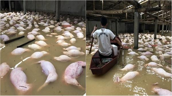 Thanh Hóa: Trại lợn gần 4000 con bị xóa sổ sau ngập lụt