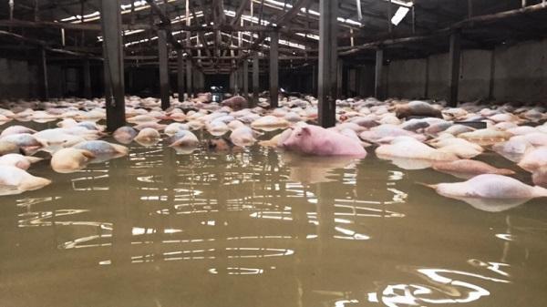 Lợn chết ngập trong lũ ở Thanh Hóa lên đến 6.000 con